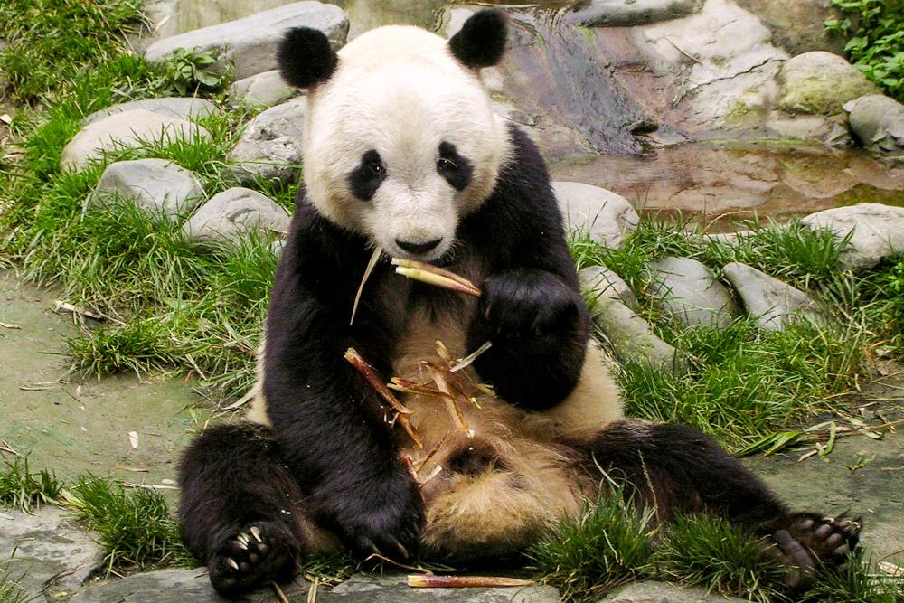 Panda à table