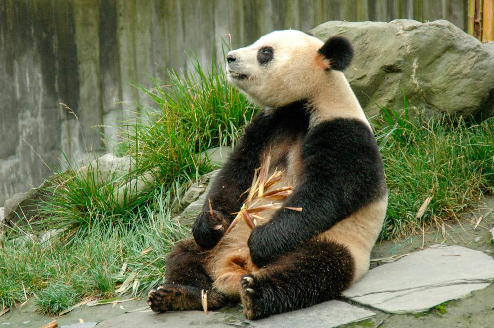 Panda de la réserve de Wolong