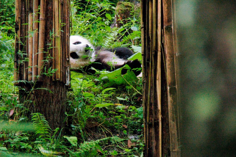Panda à la sieste