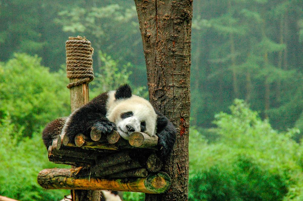 Sieste de panda