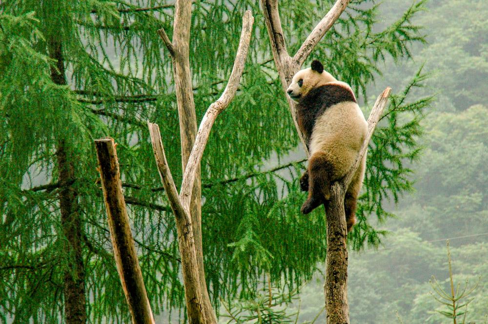 Gymnastique de panda