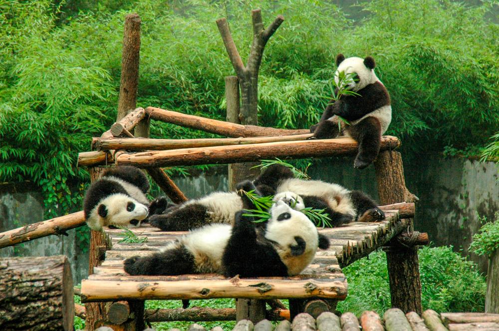 Pandas à table