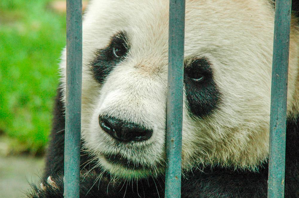 Panda derrière les barreaux