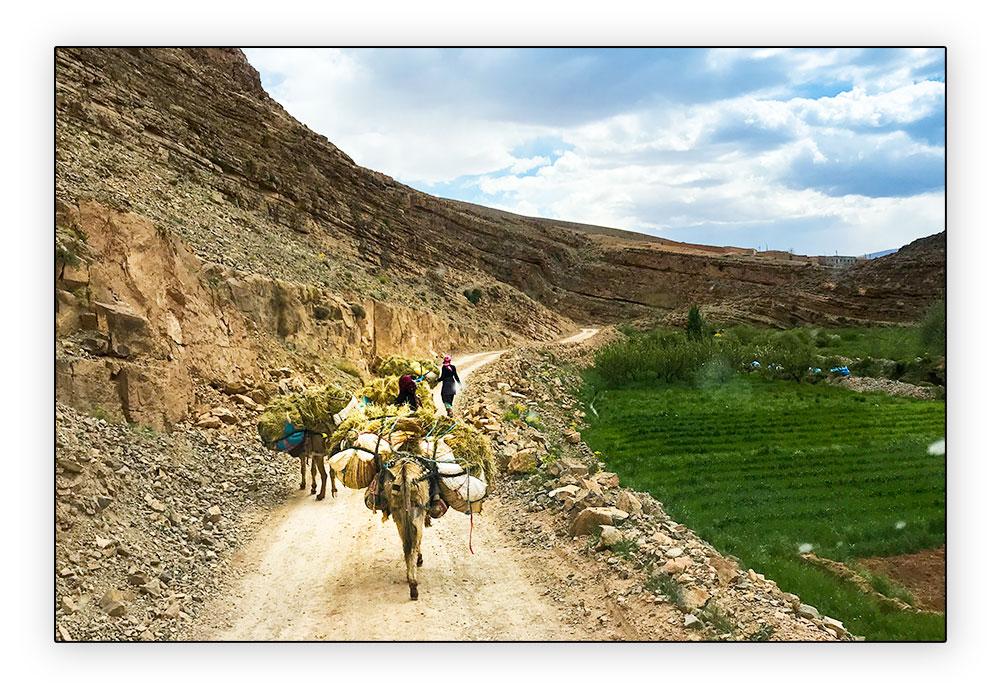 mules sur la route