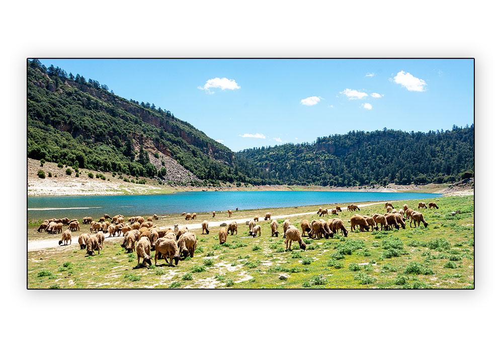 moutons au lac Aguelman