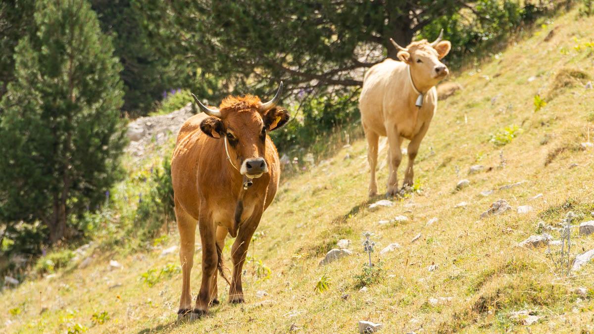 Vaches-dahuts
