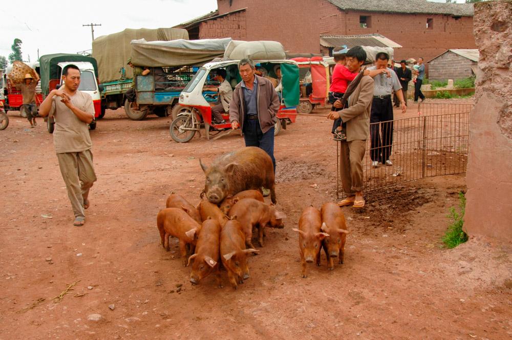 Arrivée de cochons sur le marché