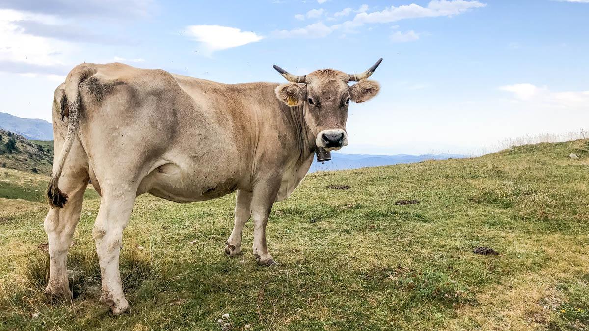 La vache se demande bien ce qu'on lui veut
