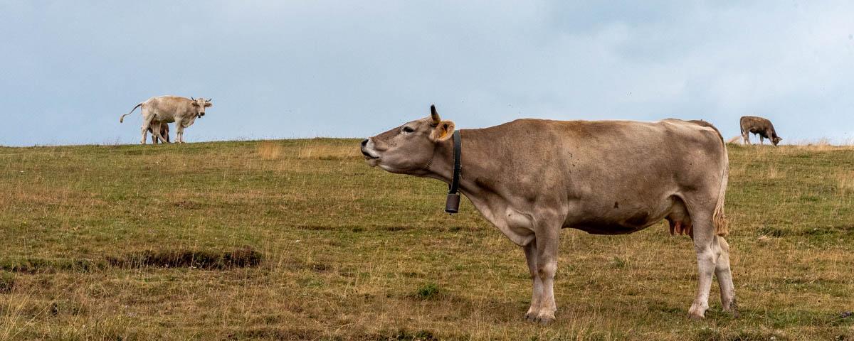 Conversation bovine